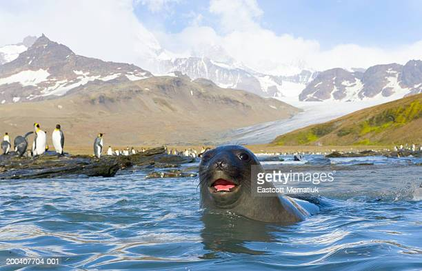 Antarctic fur seal in sea, king penguins on shore in background