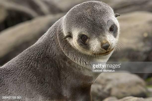 Antarctic fur seal (Arctocephalus gazella) pup on beach