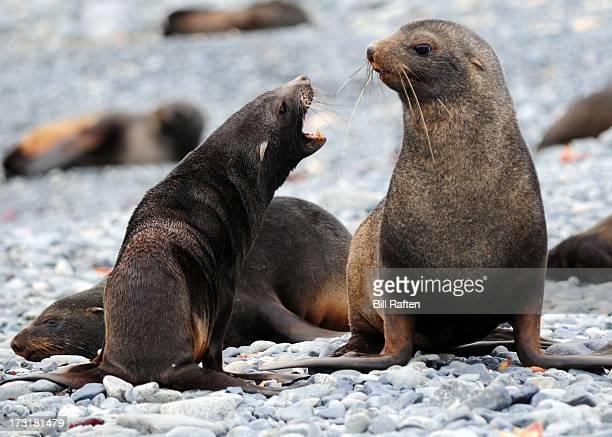 Antarctic Fur Seals barking on Half Moon Island