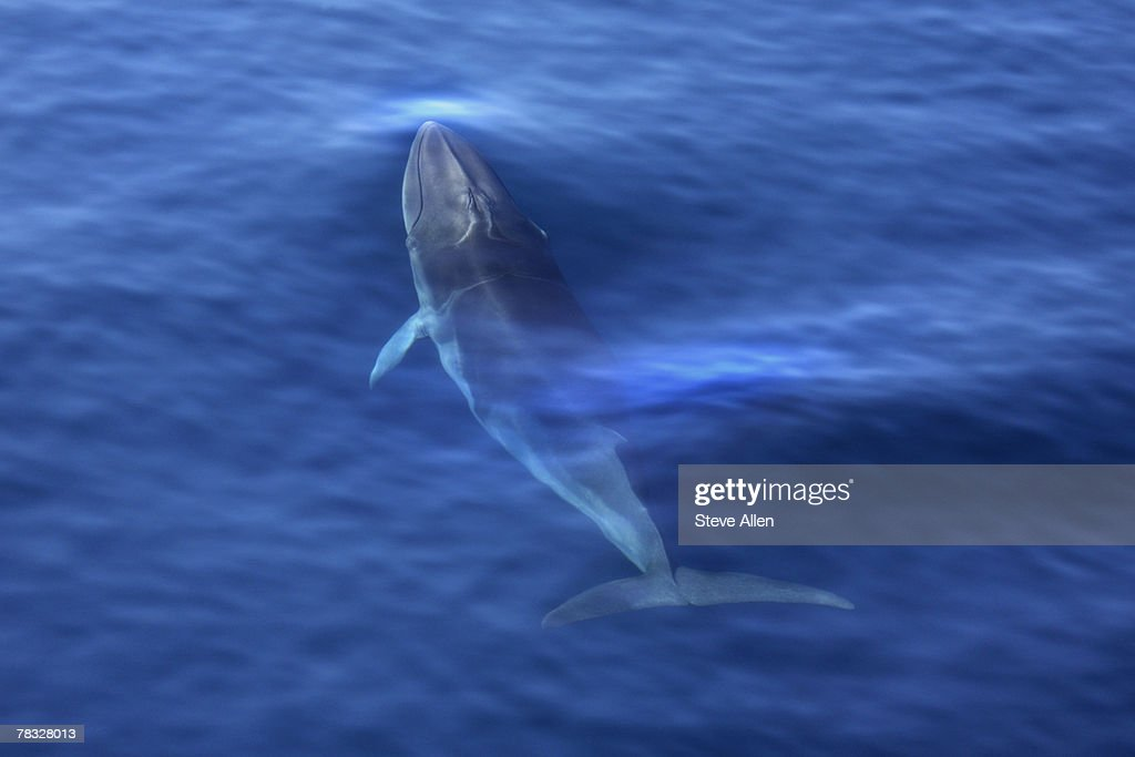 Antarctic Minke whale : Stock Photo
