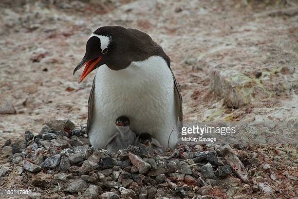 Antarctic Penguin and Chicks in Nest