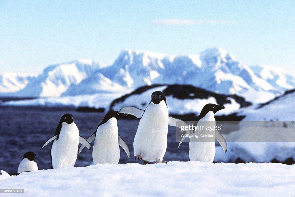 Antarctic Peninsula Area Detaille Island Adelie Penguins On Snow
