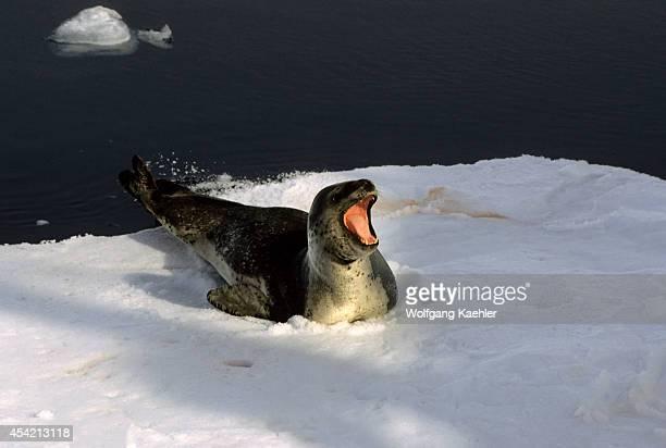 Antarctic Peninsula Area Leopard Seal On Icefloe
