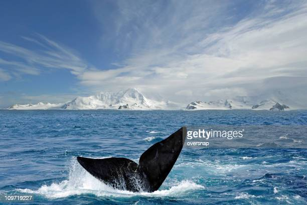 Antarctic-tail-Schnittform