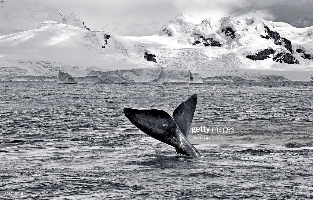 Antarctic Whale : Stock Photo