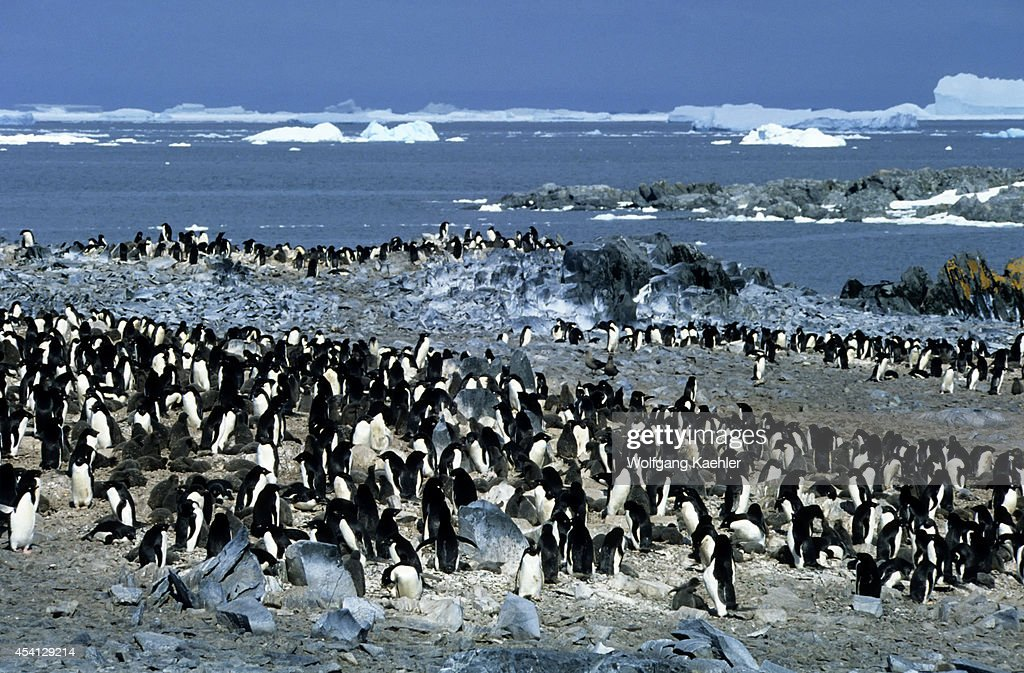 Antarctica Adelie Penguin Colony On Torgeson Island