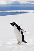 Antarctica Adelie penguin in snow landscape