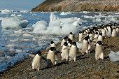 Antarctica Antarctic Peninsula Devil Island Adelie Penguins Walking On Beach