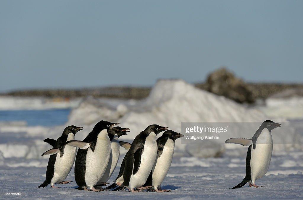 Antarctica Antarctic Peninsula Paulet Island Adelie Penguins Pygoscelis adeliae On Icefloe Jumping Into Water