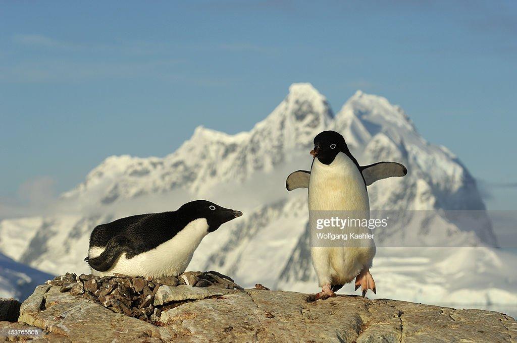 Antarctica Antarctic Peninsula Petermann Island Adelie Penguin Colony Adelie Penguin On Nest Incubating Penguin With Rock For Nest