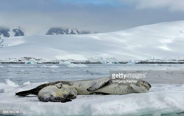 Antarctica Antarctic Peninsula Pleneau Island Leopard Seal With Baby On Icefloe