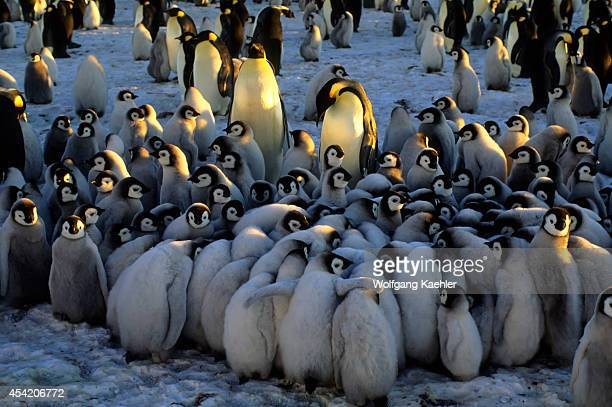 Antarctica Atka Iceport Emperor Penguin Colony Chicks In Creche Huddling To Stay Warm