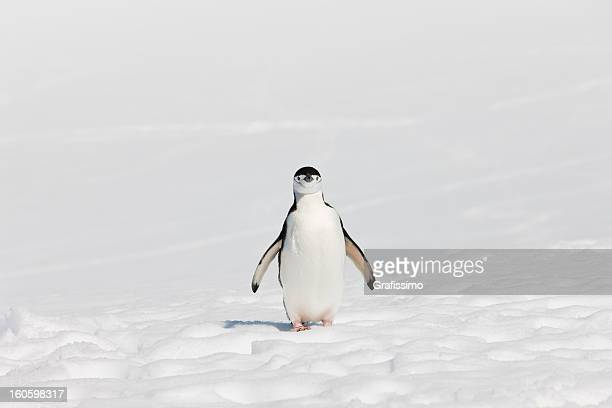 Antarctica chinstrap penguin on Halfmoon Island