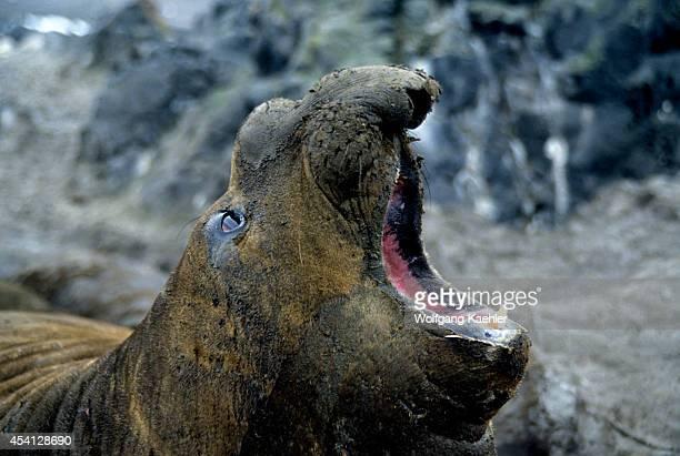 Antarctica Elephant Seal Roaring