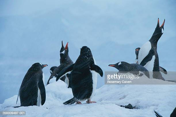Antarctica, gentoo penguin (Pygoscelis papua) colony in snow
