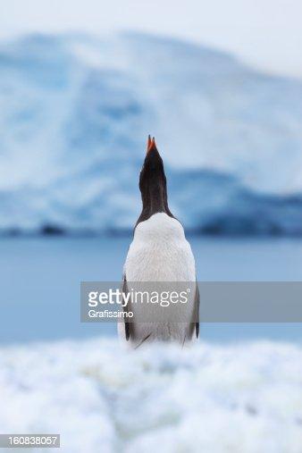 Antarctica gentoo penguin shouting : Stock Photo
