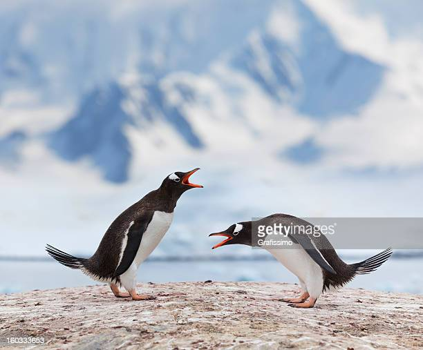 Antarktis gentoo penguins fighting