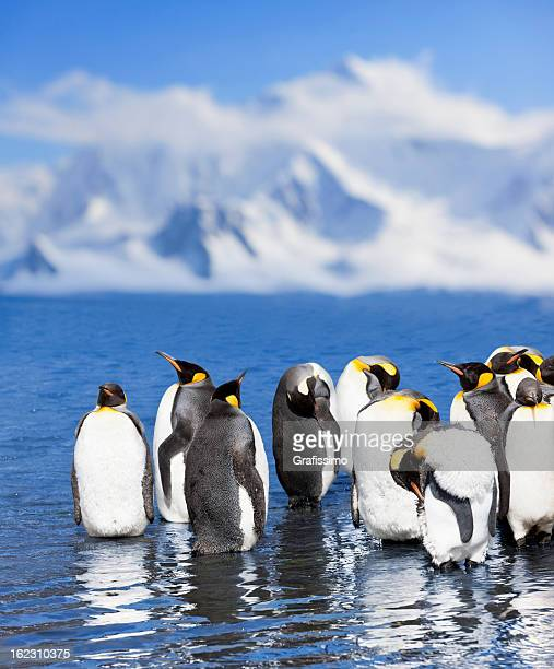 Antarctica King penguin colony