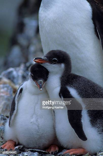Antarctica Livingston Island Hannah Point Gentoo Penguin Chicks