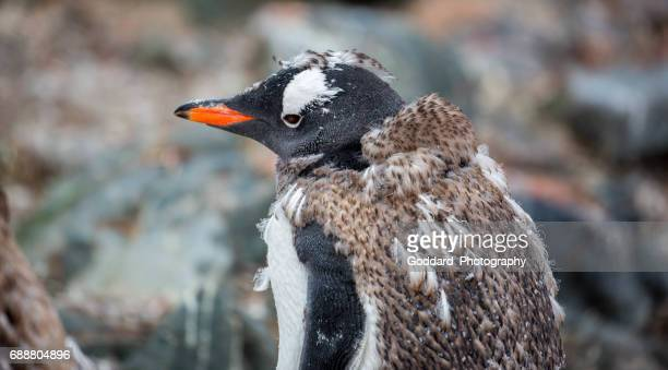 Antarctica: Molting Gentoo Penguin