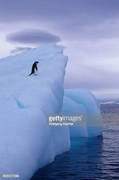 Antarctica Near Brown Bluff Adelie Penguin On Iceberg