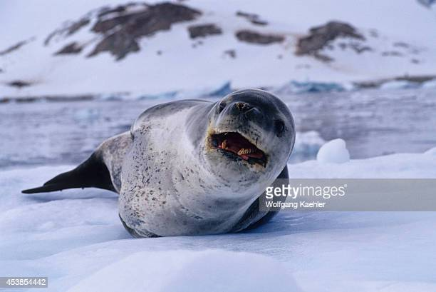 Antarctica Neko Harbor Leopard Seal Leopard Seal On Icefloe