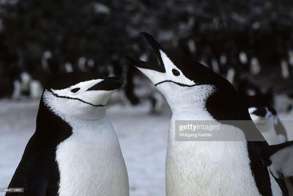 Antarctica Nelson Island Chinstrap Penguin Pair Closeup