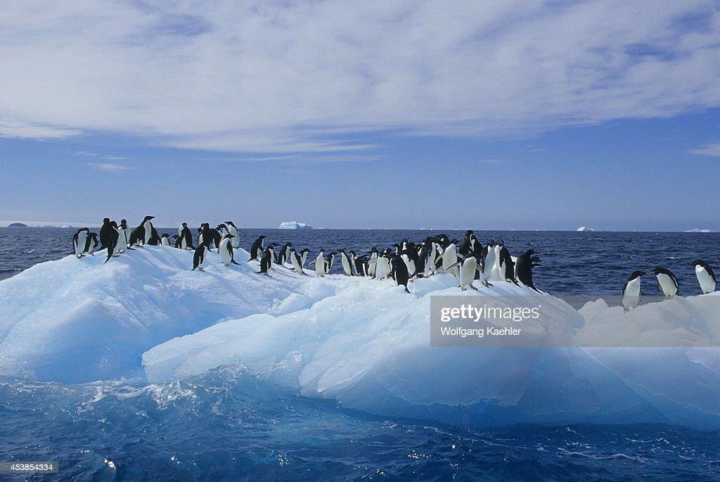 Antarctica Paulet Island Adelie Penguins On Iceberg/icefloe