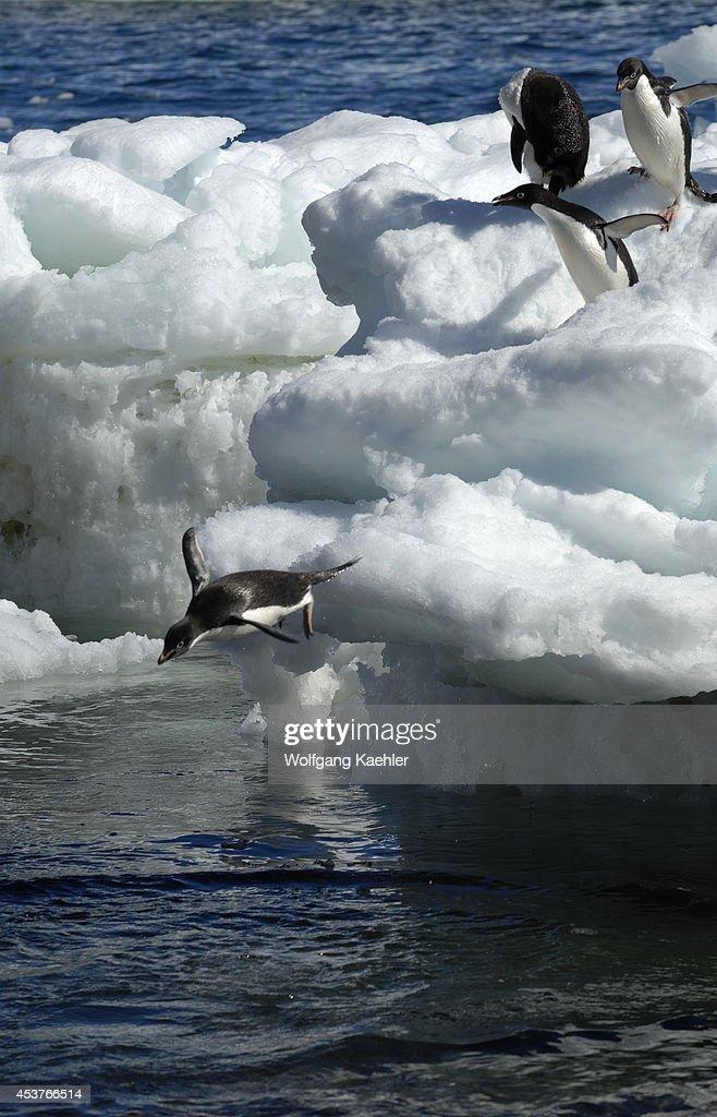 Antarctica Paulet Island Beach Adelie Penguins On Ice Pebbles Jumping Into Sea