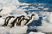 Antarctica Paulet Island Beach Adelie Penguins On Ice Pebbles Jumping
