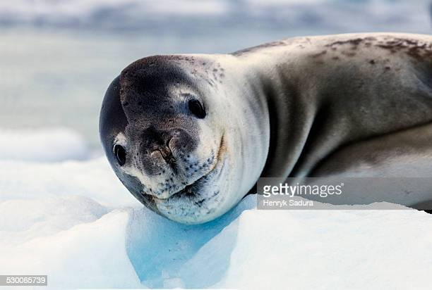 Antarctica, Portrait of seal