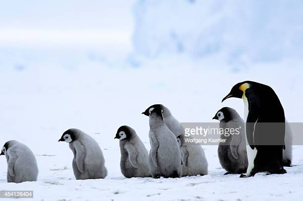 Antarctica Riiserlarsen Ice Shelf Emperor Penguin Colony Adult With Chicks Walking