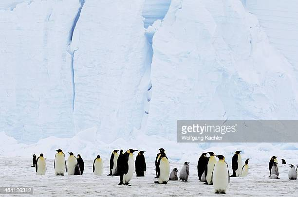Antarctica Riiserlarsen Ice Shelf Emperor Penguin Colony Adults With Chicks