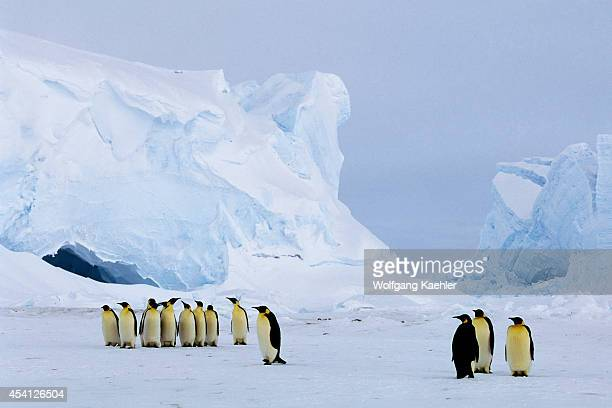 Antarctica Riiserlarsen Ice Shelf Emperor Penguins Ice Cave In Background