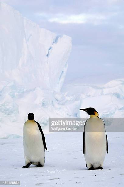 Antarctica Riiserlarsen Ice Shelf Emperor Penguins On Fast Ice Iceberg In Background