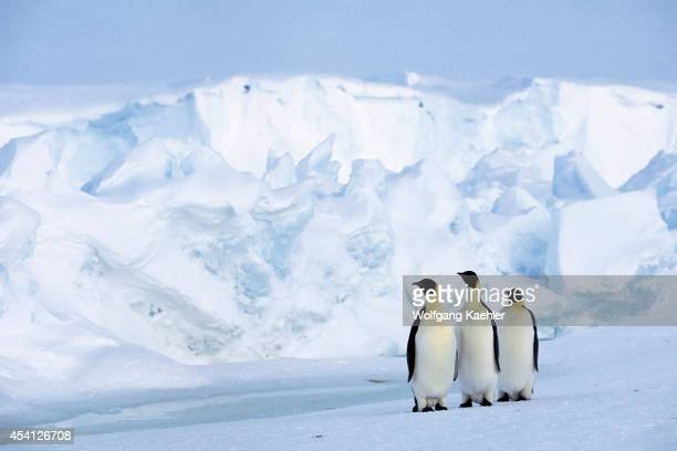 Antarctica Riiserlarsen Ice Shelf Emperor Penguins On Fast Ice Iceberg Background