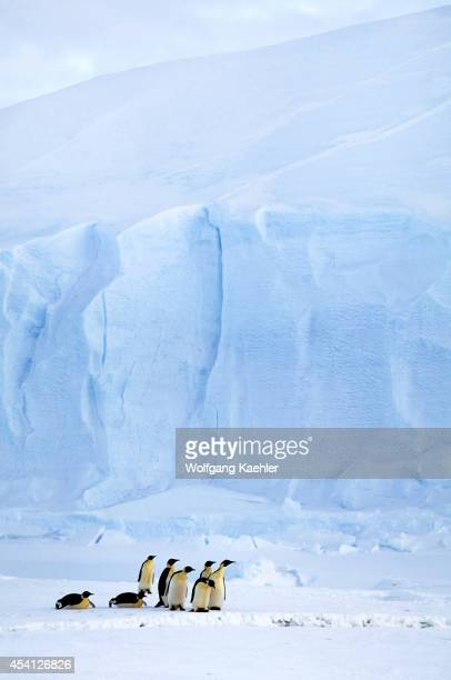 Antarctica Riiserlarsen Ice Shelf Emperor Penguins On Ice Iceberg In Background