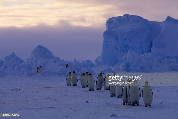 SHELF ANTARCTICA ANTARCTICA Antarctica Riiserlarsen Ice Shelf Emperor Penguins Returning From Feeding At Sea
