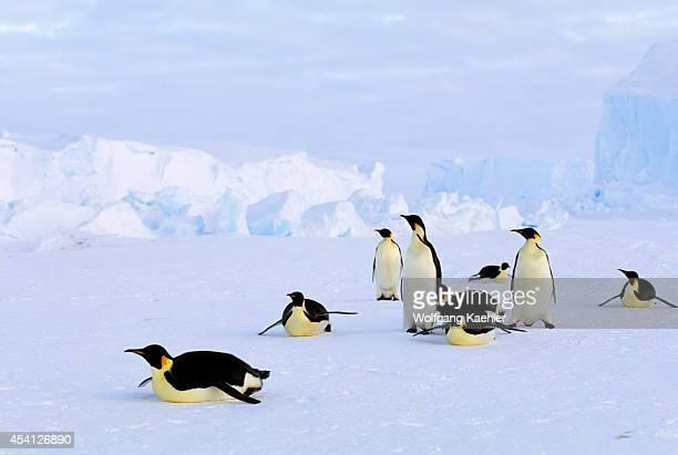 Antarctica Riiserlarsen Ice Shelf Emperor Penguins Tobogganing Iceberg Background