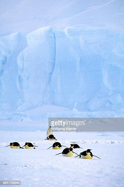 Antarctica Riiserlarsen Ice Shelf Emperor Penguins Tobogganing Iceberg Background