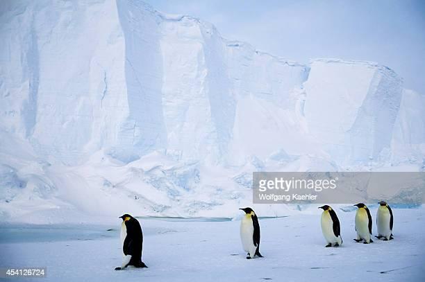 Antarctica Riiserlarsen Ice Shelf Emperor Penguins Walking On Fast Ice Iceberg Background