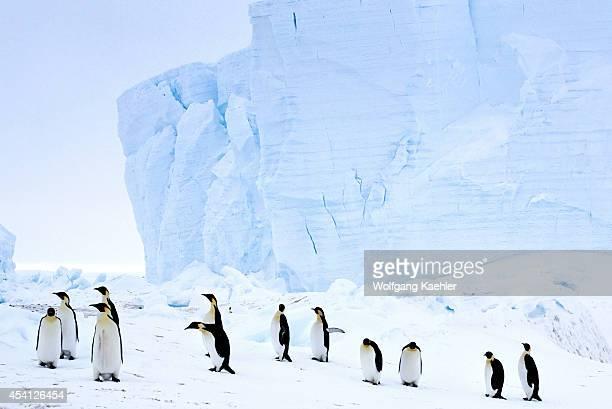 Antarctica Riiserlarsen Ice Shelf Emperor Penguins Walking