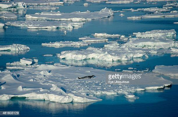 Antarctica Ross Sea Seal on floating pack ice