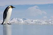 Antarctica, Snow Hill Island, emperor penguin on ice, side view