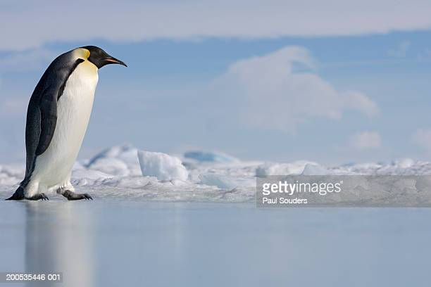 Antarctica, Snow Hill Island, emperor penguin on ice, side view