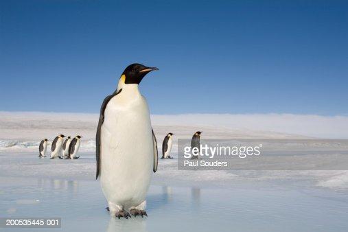 Antarctica, Snow Hill Island, emperor penguins on ice