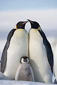 Antarctica, Snow Hill Island, two emperor penguins with chick