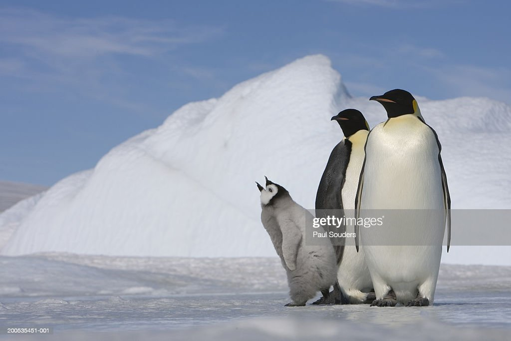 Antarctica, Snow Hill Island, two emperor penguins with chick : Stock Photo