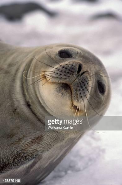 Antarctica Soshetland Is King George Is Lion's Rump Weddell Seal Portrait