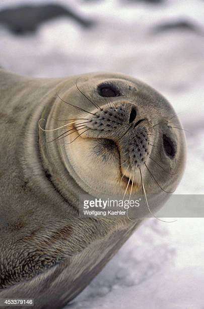 Antarctica Soshetland Is King George Is Lion's Rump Weddell Seal Portrait